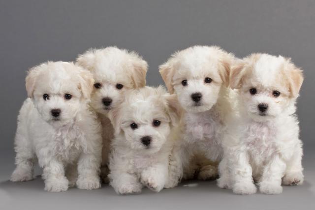 Chó Poodle con: Cách nuôi, Chăm sóc & Giá bán chó mới sinh