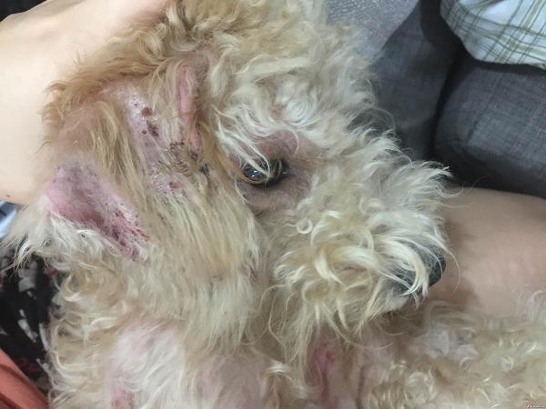 Poodle bị viêm da