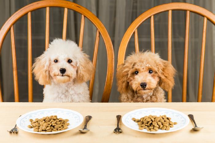 Chó Poodle ăn gì & Không nên ăn gì