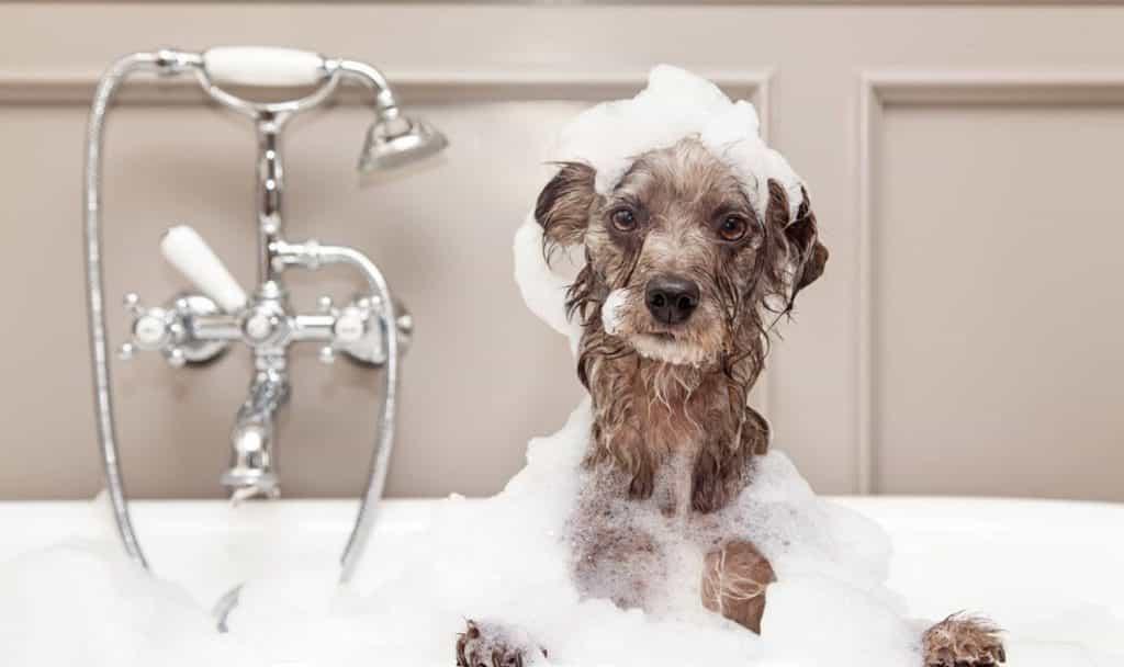 Cách chữa ghẻ cho Poodle