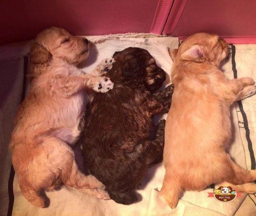 cách nuôi chó poodle 2 tháng tuổi
