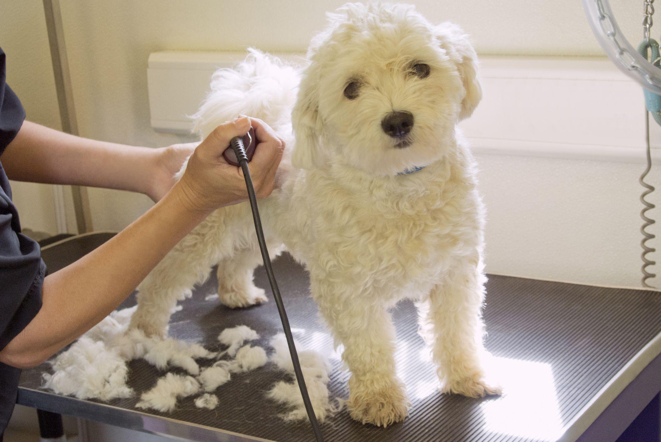 Có nên cạo lông máu cho Poodle?