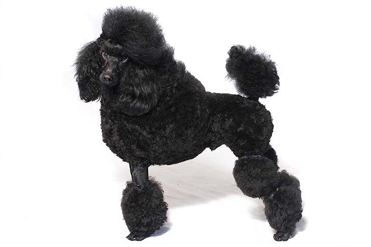 Miniature (Mini) Poodle