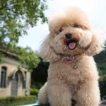 Tìm hiểu về chó Poodle: Chủng loại, Giống chó, Đặc điểm tính cách