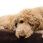 Bắt bệnh chó Poodle: Viêm da, Ghẻ, Rụng lông & cách chữa trị (P2)