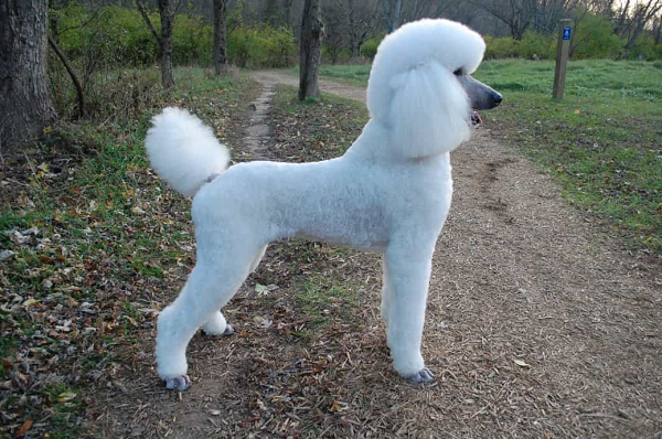 Ngoại hình chó Poodle