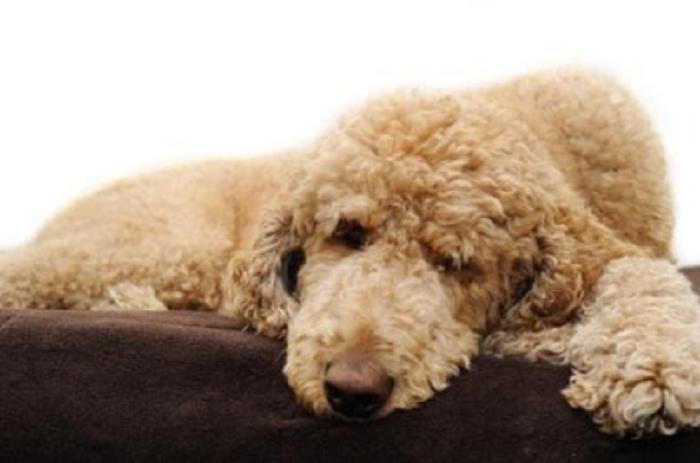 Bắt bệnh chó Poodle: Viêm da, Ghẻ, Rụng lông & cách chữa (P2)