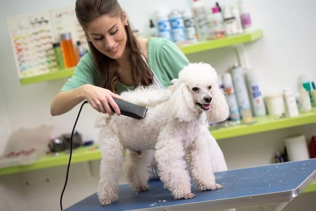 Cắt tỉa lông cho Poodle