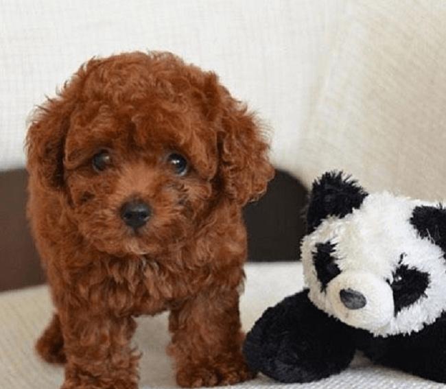 Tiny Poodle: Đặc điểm, cách chăm sóc, giá bán mới nhất 2020!