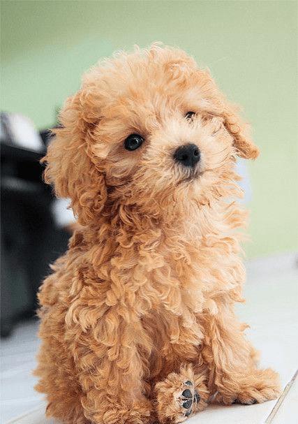 Đặc điểm tính cách của Tiny Poodle