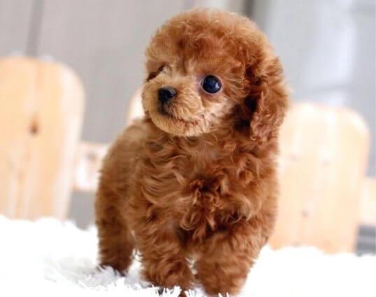 Chó Tiny Poodle ăn gì?