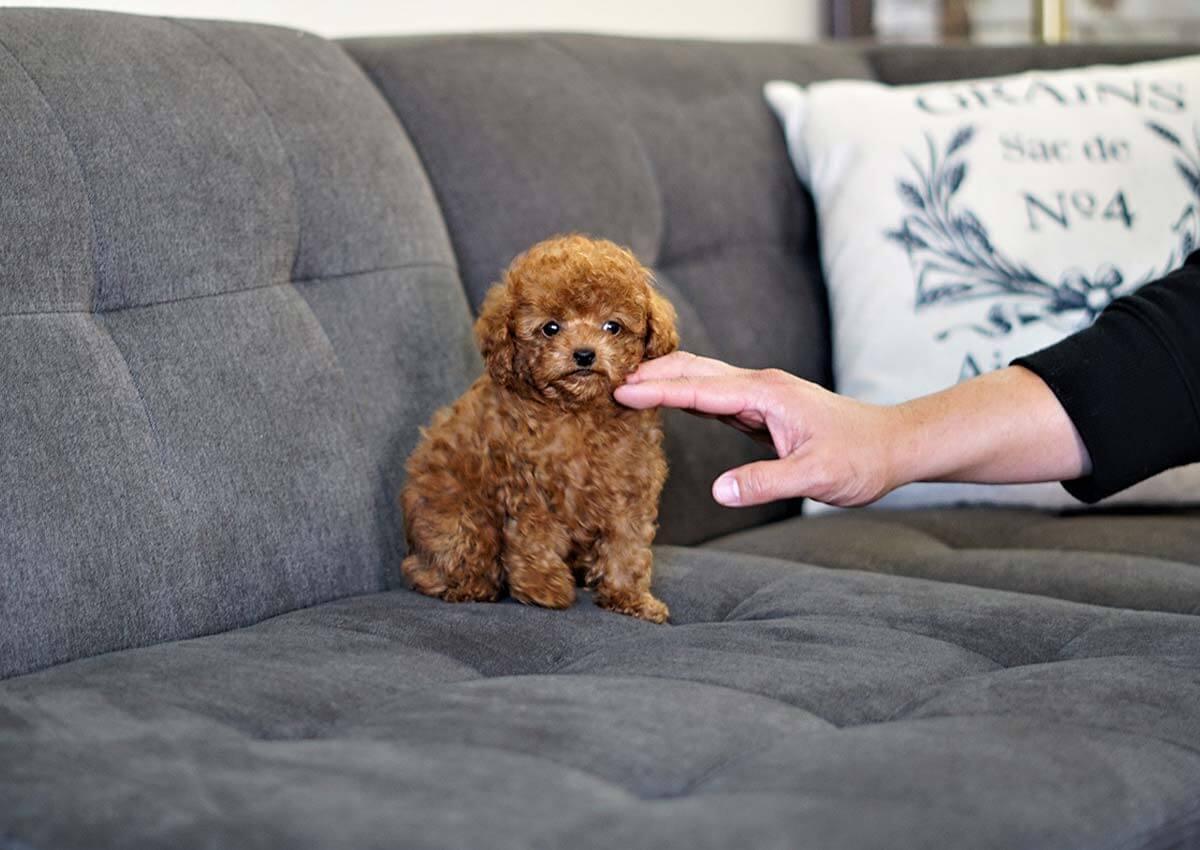 Teacup Poodle: Đặc điểm, cách chăm sóc, giá bán mới nhất 2020!