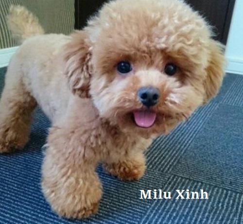 Có hay không Chó Poodle giá Rẻ 500k, 1 triệu?