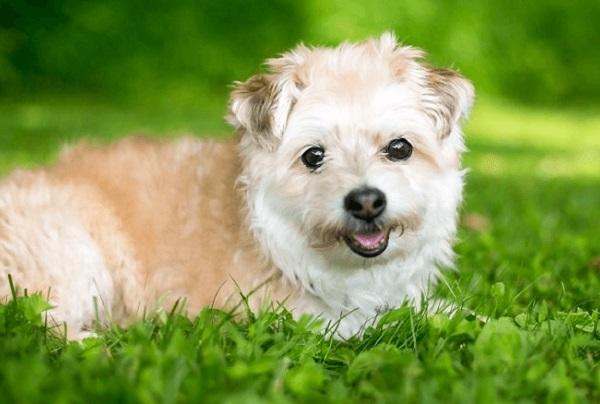 Chó Poodle Lai: Đặc điểm, cách chăm sóc, giá bán 2020