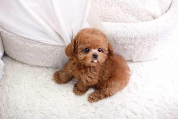 chó teacup poodle
