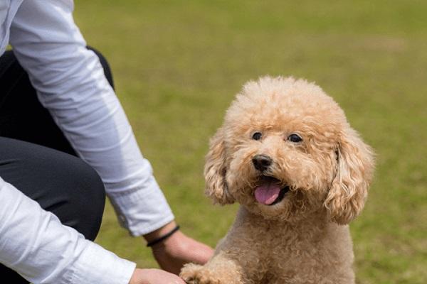 cách dạy chó poodle đi vệ sinh
