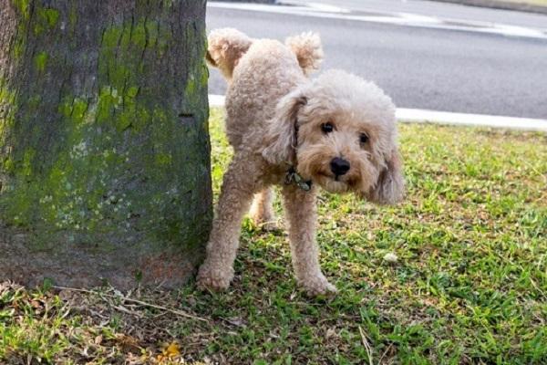 cách huấn luyện chó poodle đi vệ sinh