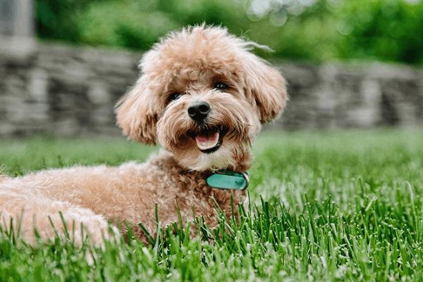 cách dạy chó poodle