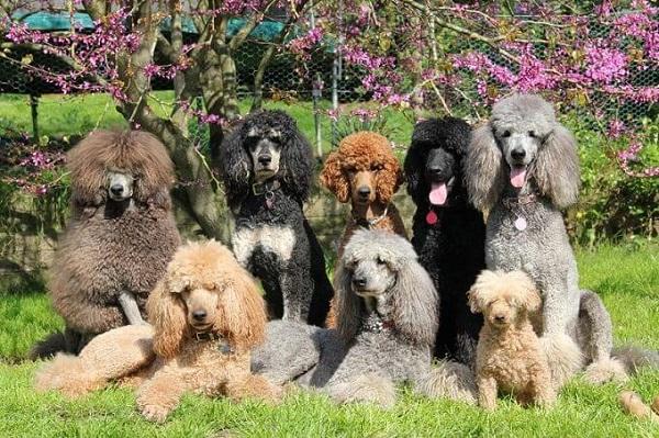 giá chó poodle thuần chủng