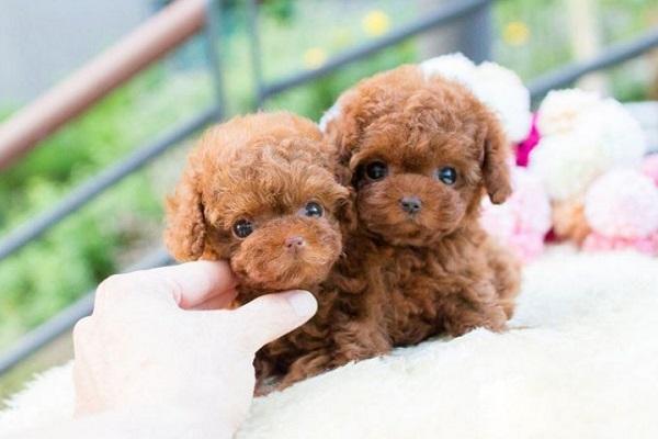 Top 3 shop bán chó Poodle Hà Nội uy tín, giá rẻ