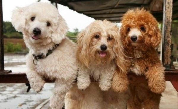 shop mua bán chó poodle