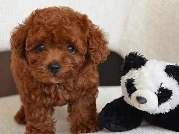 Đặc điểm ngoại hình của Tiny Poodle