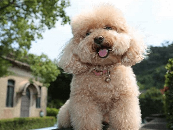 toy poodle giá bao nhiêu