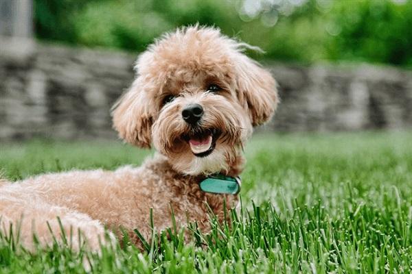 Chó Toy Poodle: Đặc điểm, cách chăm sóc, giá bao nhiêu