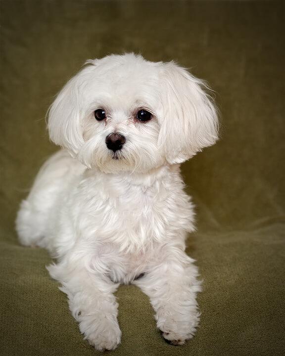 ảnh Tiny Poodle