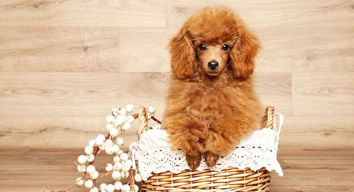 ảnh Mini Poodle