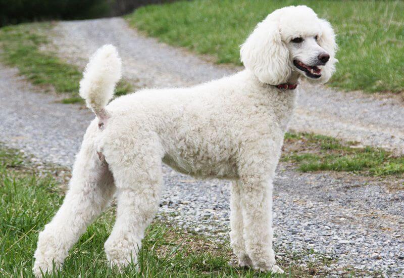 ảnh Standard Poodle