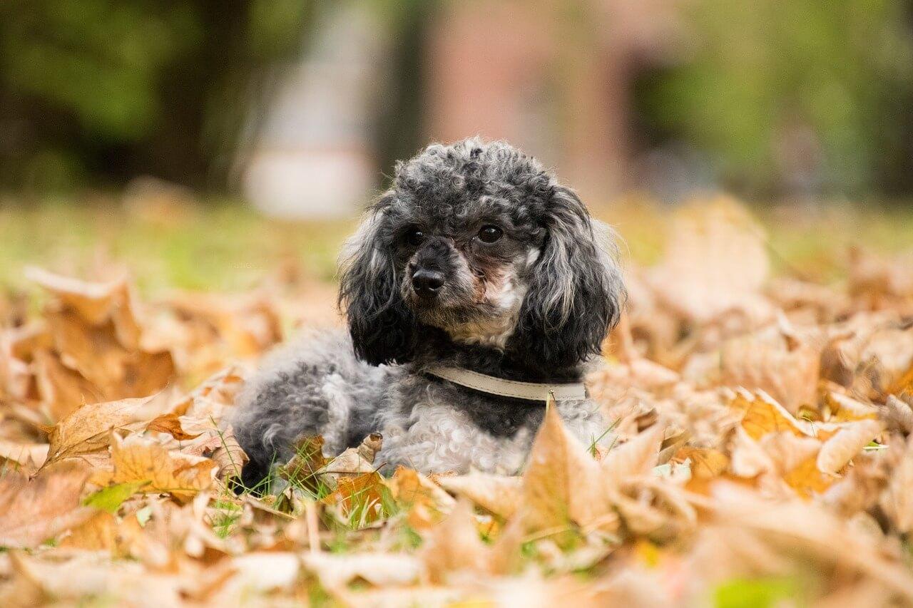 +50 Ảnh Chó Poodle đẹp: Teacup, Tiny, Toy, Mini, Lai,…