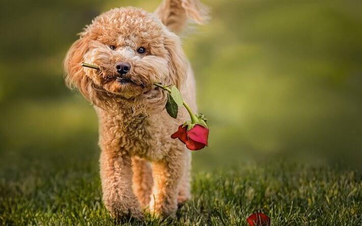ảnh Toy Poodle