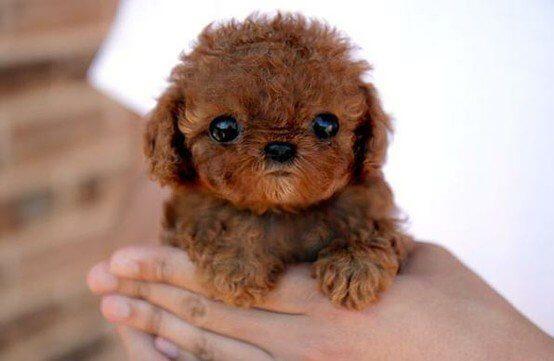 ảnh Teacup Poodle