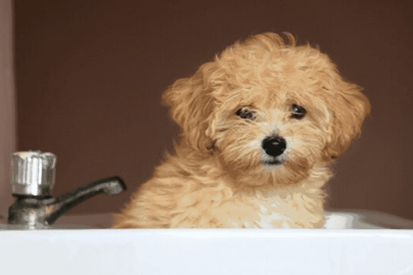 cách tắm cho Poodle