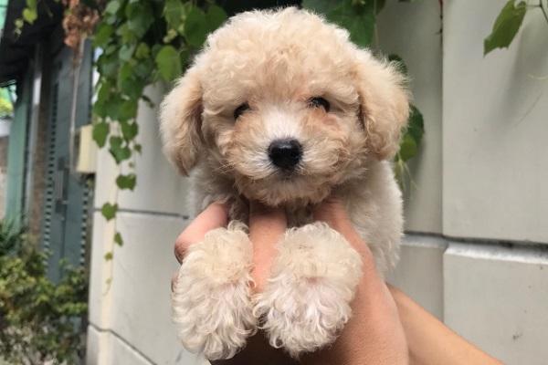 Chó Poodle màu nào đẹp & sang trọng nhất?