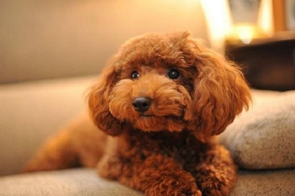chó poodle màu nâu đỏ