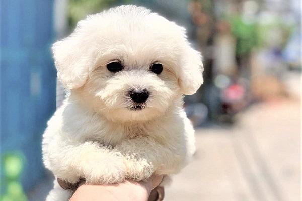 Chó Poodle màu nào đẹp