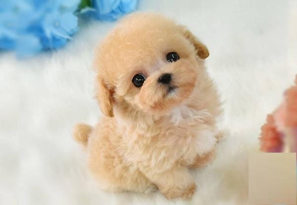 đặt tên poodle hay