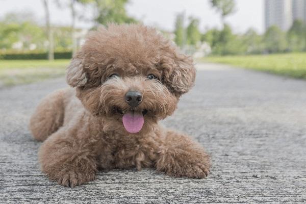cách đặt tên poodle