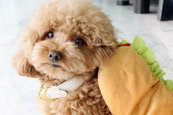 Đặt tên cho chó Poodle theo Tiếng Việt, tiếng Anh