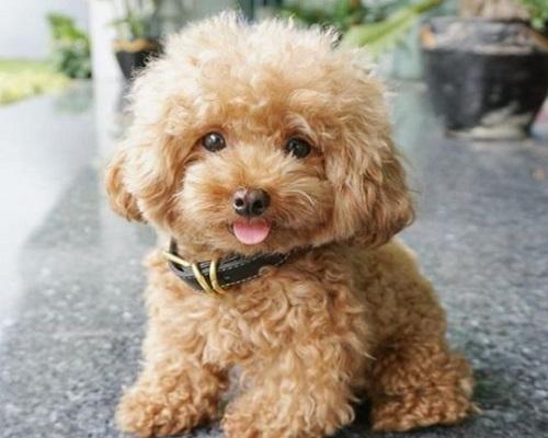 Tại sao chó Poodle bị bạc lông? Cách xử lý hiệu quả