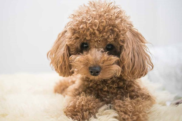 Chó poodle bị bạc lông