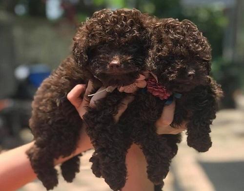 Poodle Socola: Đặc điểm, giá bán, cách chọn mua cún