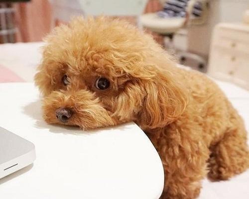 Tuổi thọ của chó Poodle, Cách giúp Poodle sống lâu