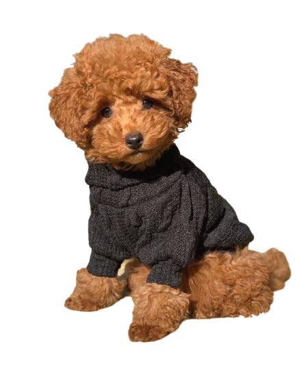 giá toy poodle