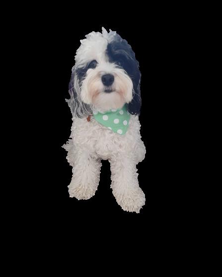giá tiny poodle