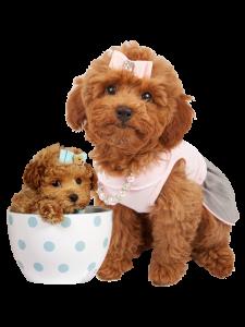 chi phí nuôi poodle