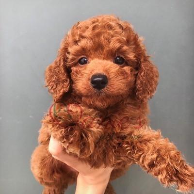 poodle nâu đỏ