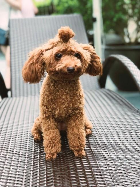 poodle nâu đỏ được cột tóc